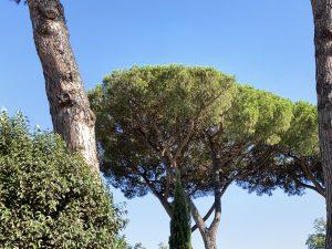 cocciniglia malattia del pino pine