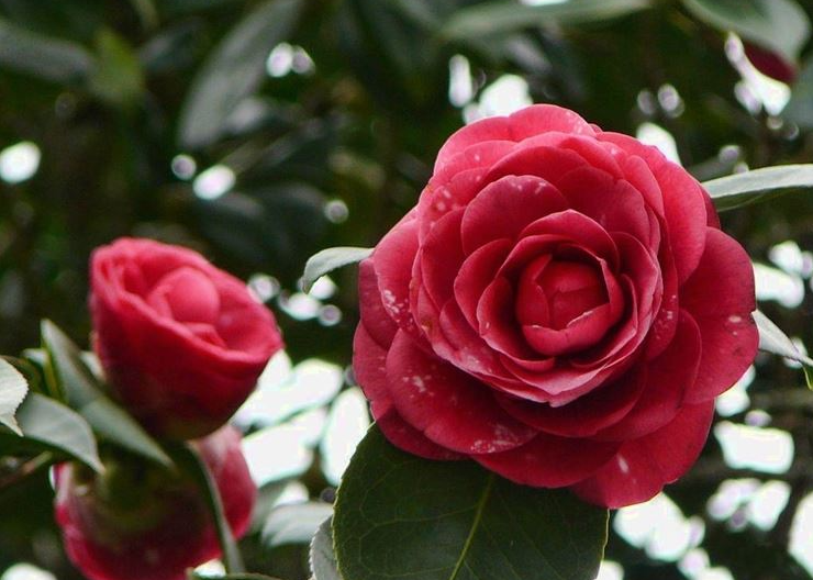 """CAMELIA: la """"Signora"""" delle piante."""